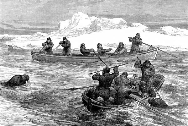 Engraving showing the crew of the Arctic exploration ship, 'Pandora', using the ship's boats to shoot walruses in Arctic waters, 1876