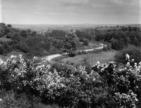 A fine view of Gredenton Hill, near Fenny Compton, Watwickshire, England, with a mass of gorse (broom) in flower in the foreground and the winding Avon Dassett road. Date: early 1960s