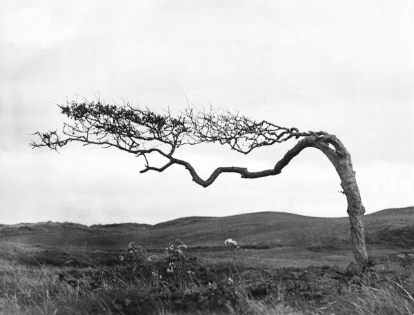 'Gone With The Wind'. This quaint formation of a hawthorne tree shows how the prevailing wind - westerly - affects the growth. Taken at Bude, Cornwall, England. Date: 1930s