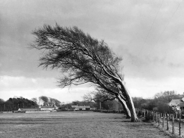 Trees at Doonfoot, near Ayr, Ayrshire, Scotland, showing the shape formed by the prevailing winds. Date: 1950s
