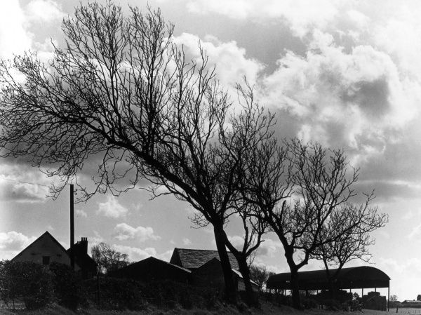 The effects of the prevailing westerly winds on farmland trees at Greasby, Wirral, Merseyside, England. Date: 1950s