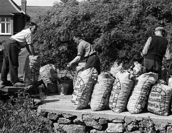 Owing to the mild, wet winters in Rhossili, in the Gower Penninsula, Glamorgan, Wales, this district is noted for its new potatoes. Here the men weigh and sack the potatoes. Date: 1950s