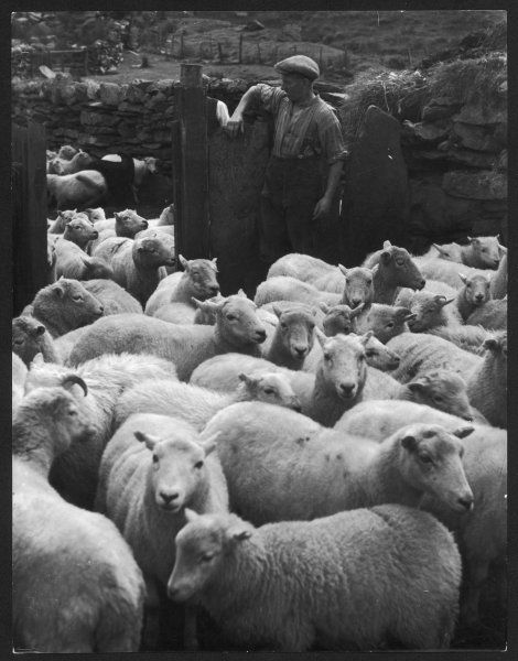 At Cwm Farm, Duffryn Mymbyr, Caernarvonshire, Wales, sheep are penned within massive stone walls made of local stone, prior to separating ewes from rams and dipping