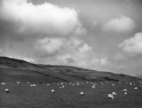 Flocks of sheep grazing on the hills of Cardiganshire, Wales. This photograph was taken near Bontgoch, about 5 miles from Aberystwyth. Date: 1960s
