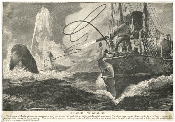A whale captured by a steamship