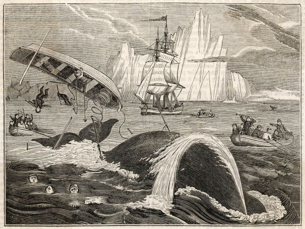 The crew in danger A small whaling vessel is overturned by a whale