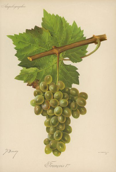 A bunch of white grapes: variety: French Premier