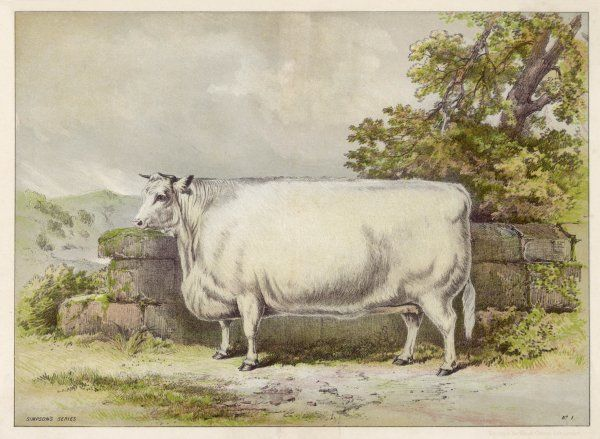 Champion white shorthorn heifer exhibited at Smithfield in December 1874
