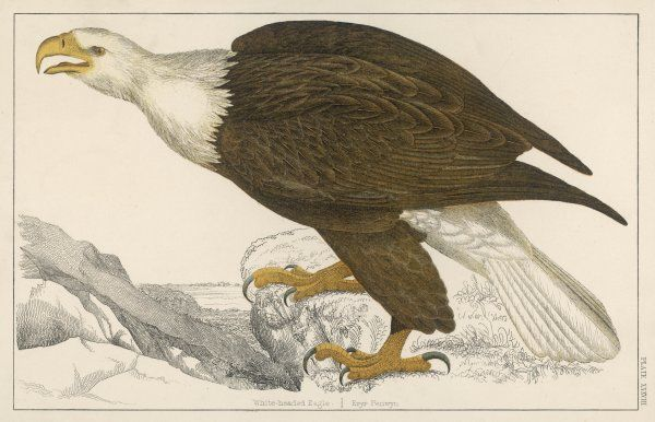 WHITE-TAILED (or white-headed) EAGLE (Haliaetus albicilla) also known as Erne, Cinereuous or Sea Eagle