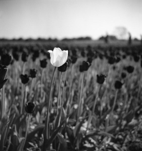A lone white tulip grows up amongst a mass of darker blooms. Photograph by Norman Synge Waller Budd