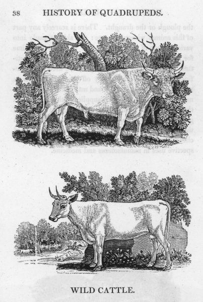 Bewick depicts two kinds of English wild cattle. Above is the Chillingham sort, of which he will later make one of his finest engravings. Both are rare even in his day
