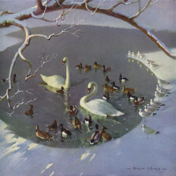 Swans and ducks swim together in a pond, watched by gulls who stand in the snow