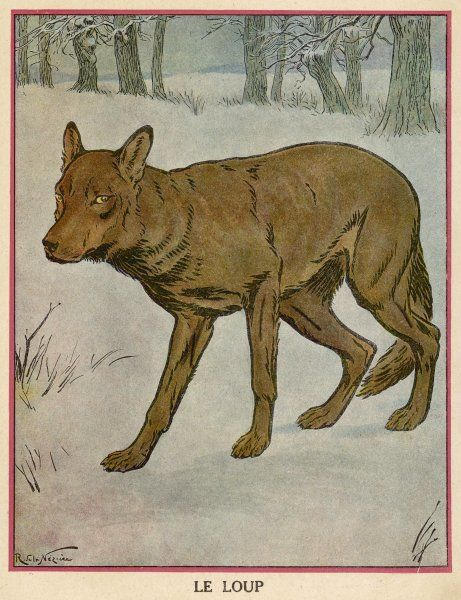 A brown wolf in the snow looks sheepish