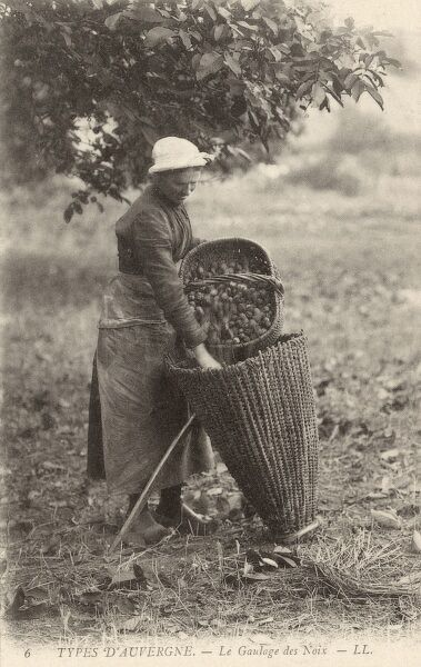 A woman of the Auvergne region of France loading a wickerwork pannier backpack with the walnuts she has been collecting in her straw basket Date: 1910