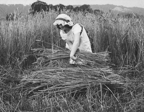 A woman harvesting in a field of corn. She is wearing old-fashioned country clothes, including a Victorian-style bonnet
