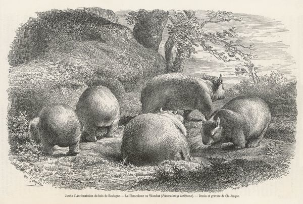 PHASCOLYMUS LATIFRONS Wombats in the Jardin d'Acclimatation in the bOIS DE Boulogne, Paris