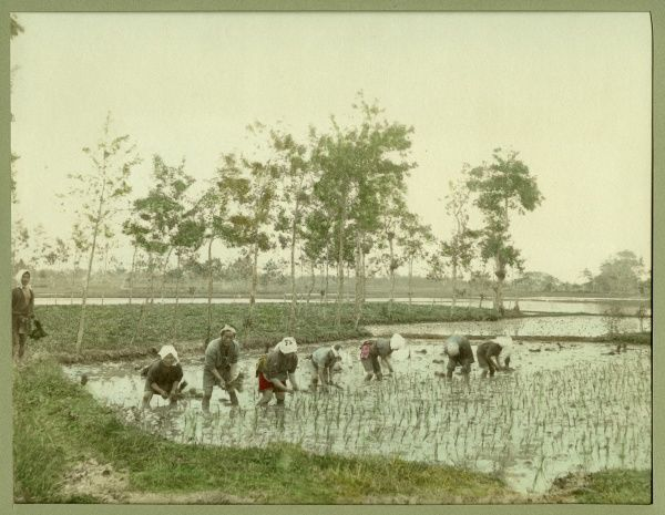 Japanese workers in a paddy field