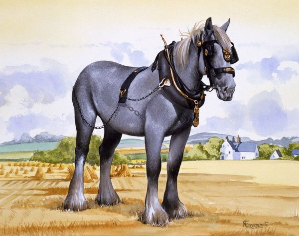 A Shire horse, with collar, tack, bit, blinkers and horse brasses, standing alone in a cut cornfield. Painting by Malcolm Greensmith