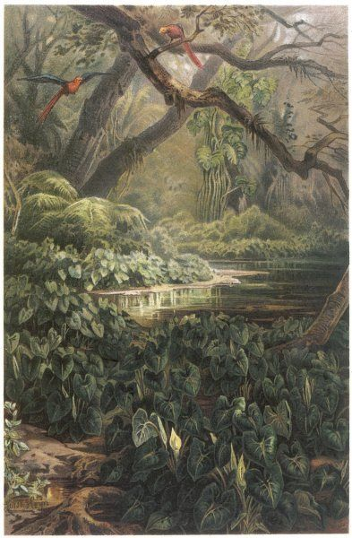 xanthosoma and other exotic flora, and birds in the Brazilian jungle