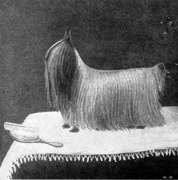 Photograph of a tiny blue-and-silver Yorkshire Terrier, called 'Ashton Ted '95'; an award-winning animal at the Brighton and Ealing Dog shows of 1896