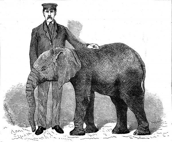 Engraving showing 'Jingo', the young African elephant, at the Zoological Society's Gardens (London Zoo), with his keeper, 1882