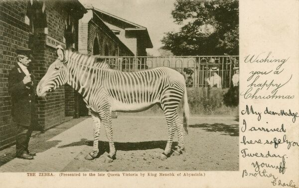The Zebra presented to Queen Victoria by King Menelik II of Abyssinia (Ethiopia) - pictured here at its new home at the New Zebra House at the Royal Zoological Gardens, Regents Park, London