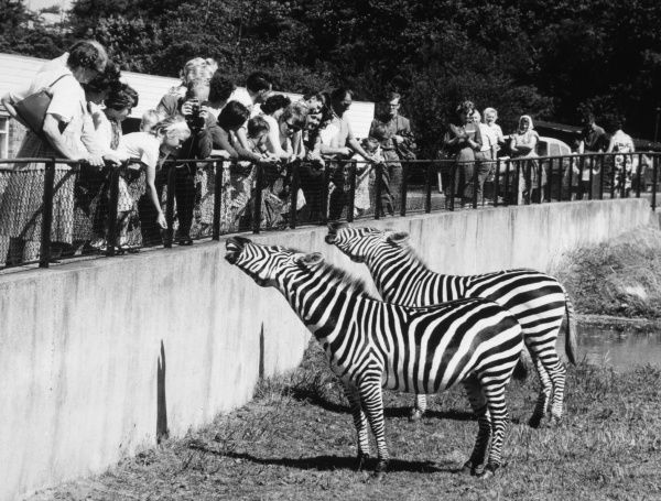 WHIPSNADE : a pair of zebras make friends with the visitors. Date: 1961