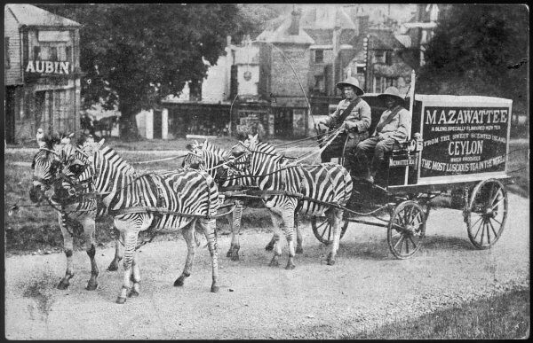 Four zebras in harness pull a Mazawattee tea cart -- purely for publicity purposes, we understand!