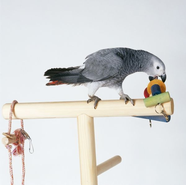 JD-16159 African Grey PARROT - on perched with toys John Daniels Please note that prints are for personal display purposes only and may not be reproduced in any way