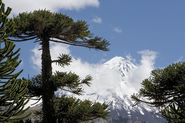 FG-ea-368 Araucaria / Monkey Puzzle / Chile Pine Tree & Lanin Volcano Photographed in Neuquen Province. Lanin National Park Araucaria araucana Endemic to Argentina & Chile Francois Gohier Please note that prints are for personal display purposes only