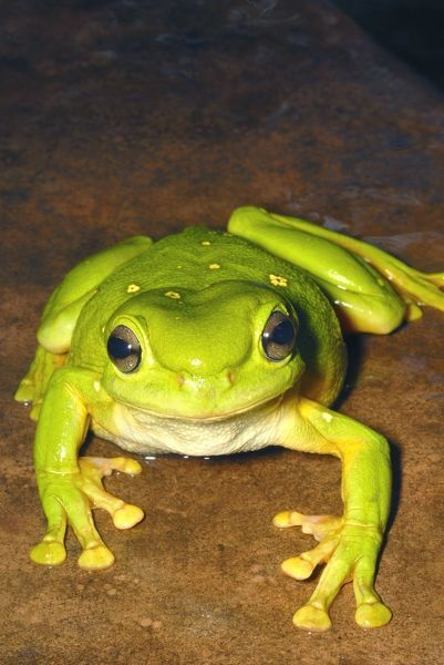 AUS-1863 Magnificent Tree Frog