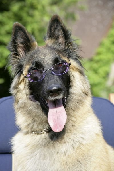 JD-18560 Belgian shepherd dog wearing purple glasses John Daniels Please note that prints are for personal display purposes only and may not be reproduced in any way. contact details: prints@ardea.com tel: 020 8318 1401