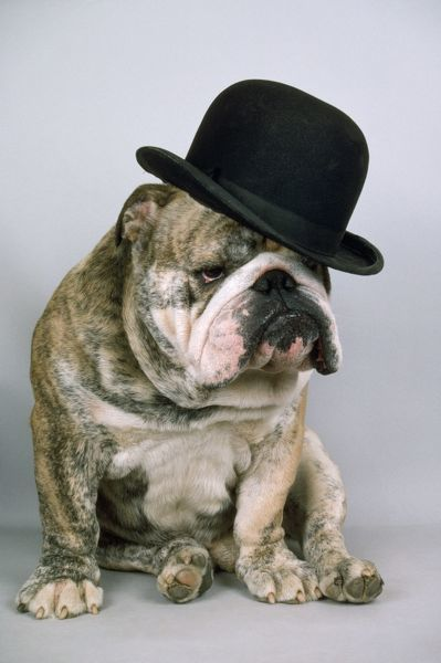 JD-7324 Bulldog - wearing bowler hat John Daniels Please note that prints are for personal display purposes only and may not be reproduced in any way. contact details: prints@ardea.com tel: + 44 (0) 20 8318 1401