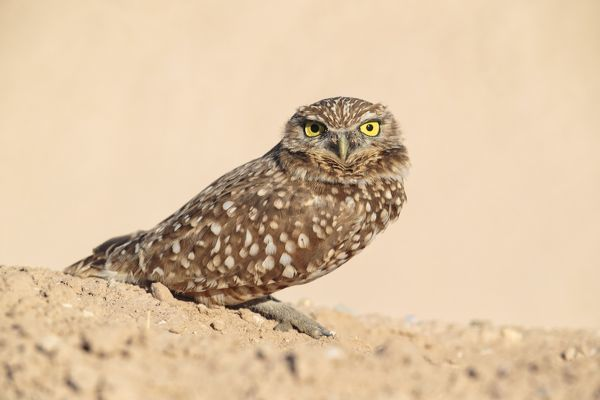 Burrowing Owl sitting outside nesting burrow February. southern California, USA. Date