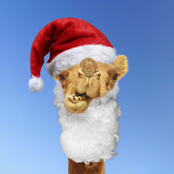 Camel wearing Father Christmas hat and beard. Digital manipulation Date f31bbba062d