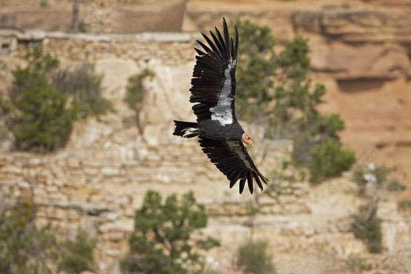 CAN-3684 California Condor - In flight showing tags
