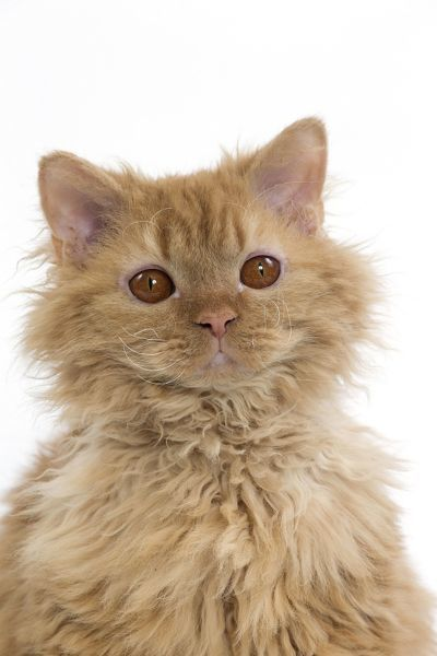 Cat Long-haired Selkirk Rex Date