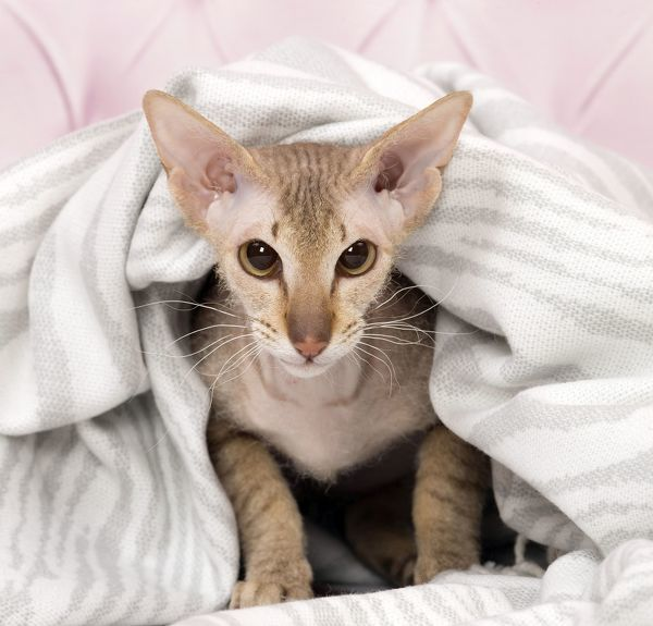 Cat Peterbald under a blanket Date