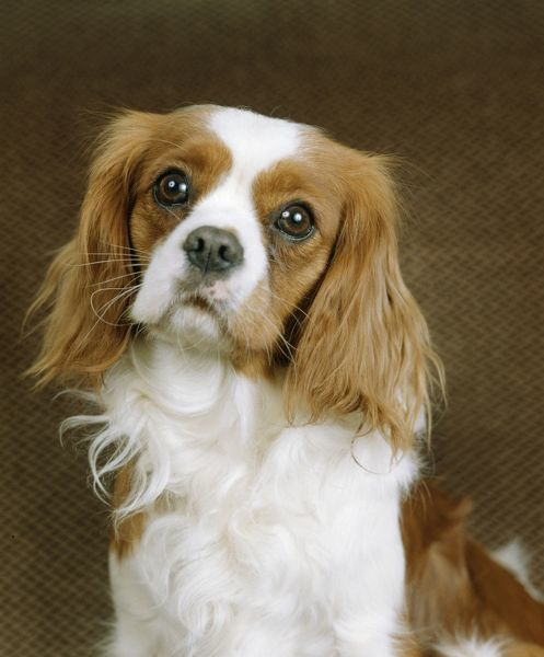 LA-37 Cavalier King Charles Spaniel Dog Jean Michel Labat Please note that prints are for personal display purposes only and may not be reproduced in any way