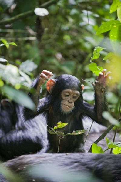 Chimpanzee - playful one year old infant