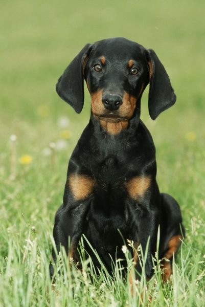 dobermann doberman pinscher dog puppy with long ears me 499 dobermann doberman photo. Black Bedroom Furniture Sets. Home Design Ideas