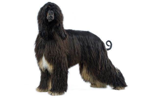 LA-3415 Dog - Afghan Hound Jean Michel Labat Please note that prints are for personal display purposes only and may not be reproduced in any way