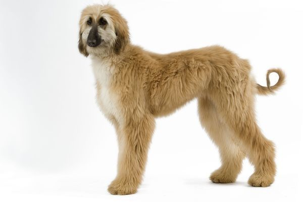 LA-3541 Dog - Afghan Hound. Also know as Tazi Jean Michel Labat Please note that prints are for personal display purposes only and may not be reproduced in any way