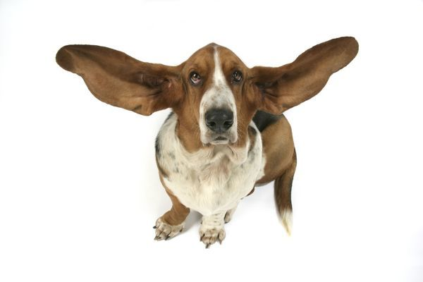 Do Dogs Like Their Ears Touched