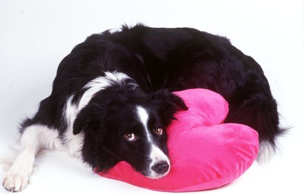 JD-13161 DOG - Border Collie looking sad with head on heart cushion John Daniels Please note that prints are for personal display purposes only and may not be reproduced in any way. contact details: prints@ardea.com tel: + 44 (0) 20 8318 1401