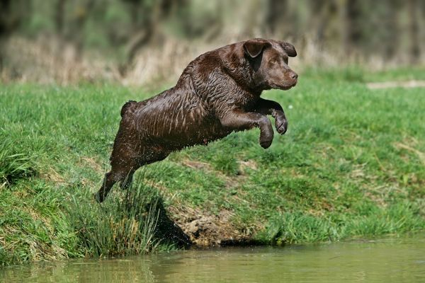 LA-2385 Dog - Chocolate Labrador Retriever jumping into water Jean Michel Labat Please note that prints are for personal display purposes only and may not be reproduced in any way. contact details: prints@ardea.com tel: 020 8318 1401