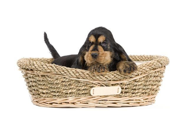 Dog - Cocker Spaniel puppy in dog basket Date