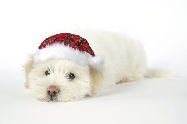 JD-19048-m DOG - Coton de Tulear puppy (8 wks old) wearing tartan cap John Daniels Please note that prints are for personal display purposes only and may not be reproduced in any way
