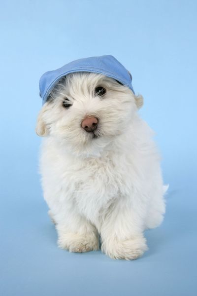 JD-19059 DOG - Coton de Tulear puppy (8 wks old) wearing a blue hat John Daniels Please note that prints are for personal display purposes only and may not be reproduced in any way