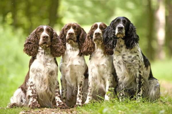 LA-2995 Dog - English springer spaniel - four sitting in row Jean Michel Labat Please note that prints are for personal display purposes only and may not be reproduced in any way. contact details: prints@ardea.com tel: 020 8318 1401